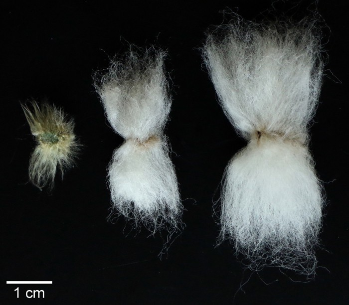 example of cotton fiber lengths