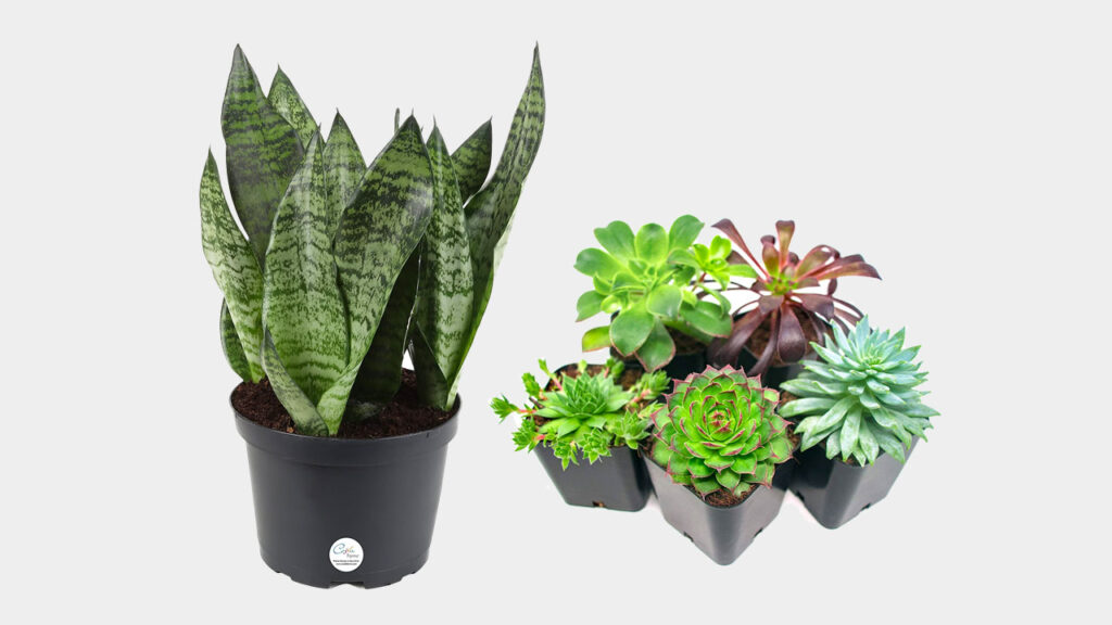 sansevieria snake plant and succulents